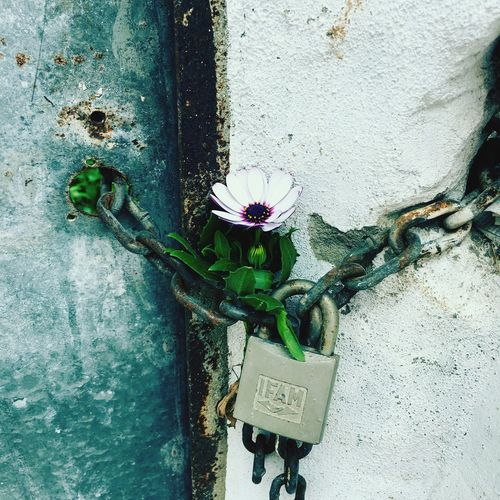 Close-Up Of Flower Locked By Chain And Padlock On Wall