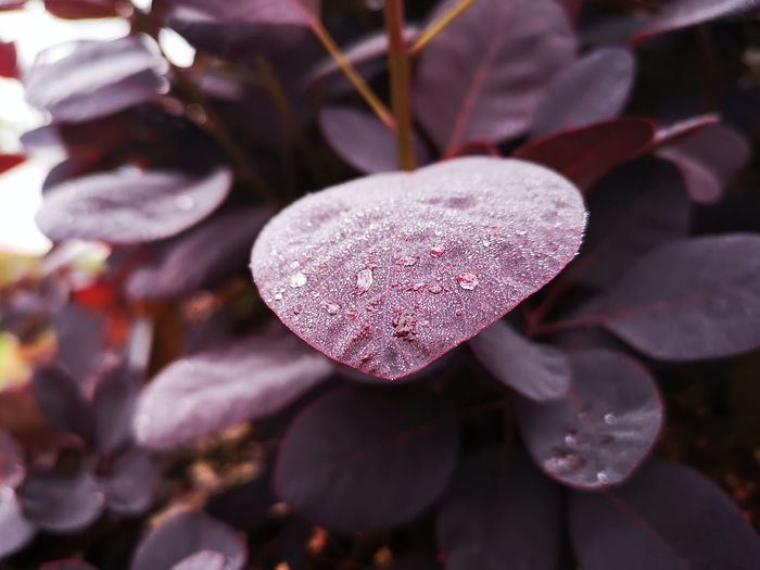 Close-up of raindrops on pink leaves