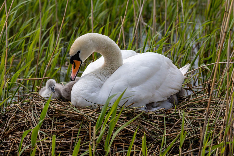 White swan in a grass