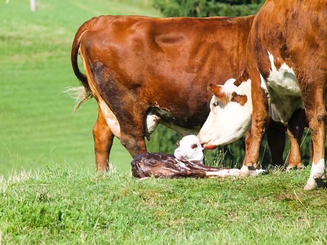 Cows Newborn Calf Agriculture Farm Life Farm Animals Birth Check This Out