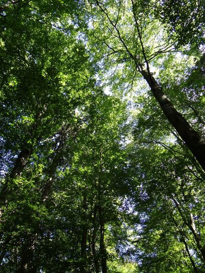 Buchenblätterdach über dem Wilden Weg im Nationalpark Eifel Beech Forest Beechleaves Beech Wilder Kermeter Wilder Weg Nationalpark Eifel
