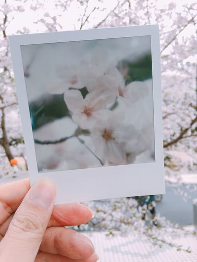Cropped Hand Holding Instant Print Transfer Of Cherry Blossoms