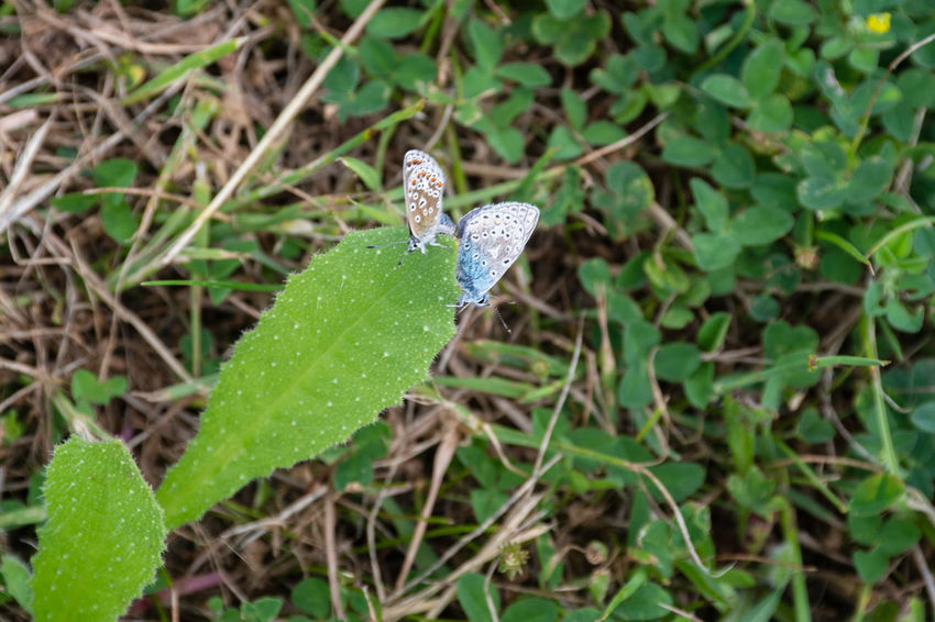 Pair of small butterflies feeding on leaf Beauty In Nature Butterfly Close-up Common Blue Common Blue Butterfly Freshness Leaf Nature No People Outdoors Plant Plant Part