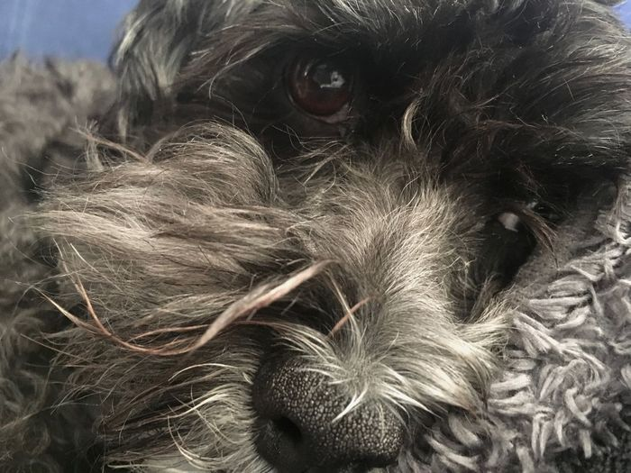 Simon The Dog is bored Animal Body Part Close-up Dark Colors Detail Dog Dog Nose Domestic Animals Fur Havanese Pets Portrait Whisker