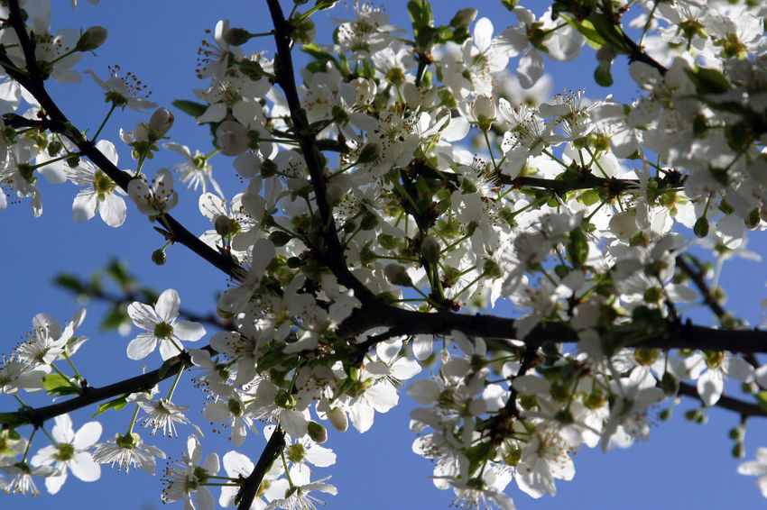 Branch Beauty In Nature Beginning Bloom Blooming Blossom Earliest Easter Flora Flower Flowering Freshness Fruit Garden Growth Nature Petal Purity Seasons Serenity Softness Spring Tree White Color