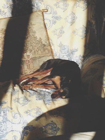 Dogs ❤ Miniature Pinscher Zwergpinscher Pinscher Luna Pinscher ❤️❤️❤️❤️❤️ Dog