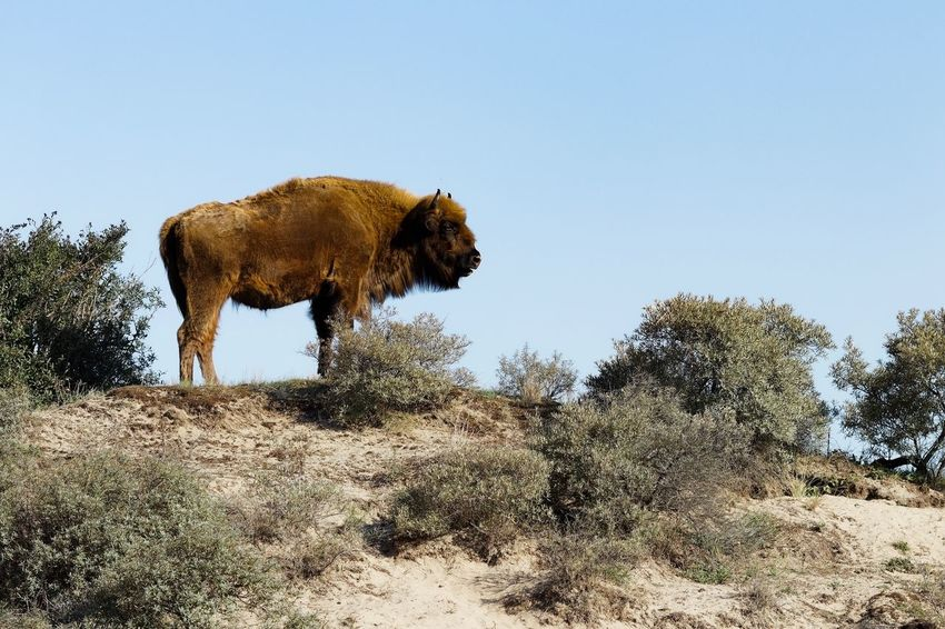 Dunes Of Holland Wisent European  Bison Sky Tree Nature Clear Sky Plant Animal Themes Mammal Animals In The Wild