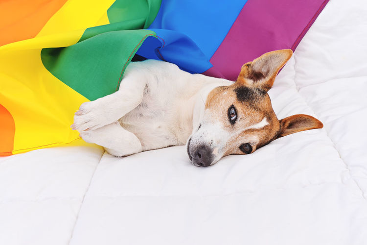 Cute dog jack russell wrapped in rainbow LGBT flag lying on white bed and looking at camera. Pride month celebrate and World peace concept Pets Relaxation One Animal Domestic Animals Furniture Mammal Domestic Vertebrate Animal Themes Animal Bed Resting Indoors  No People Textile Duvet Pride Lgbt Pride Lgbtq Flag Tolerance Pride Month Frindship Celebrating Dog Jack Russell Terrier