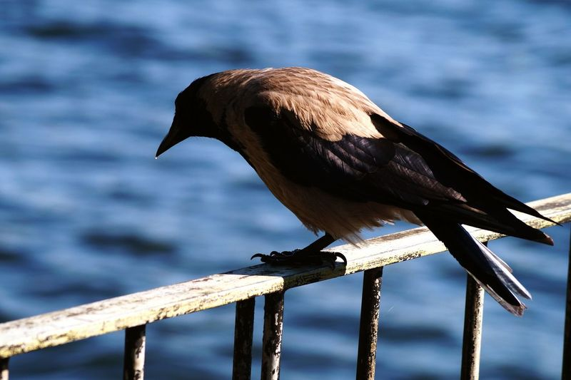 Close-up of raven perching on railing against lake