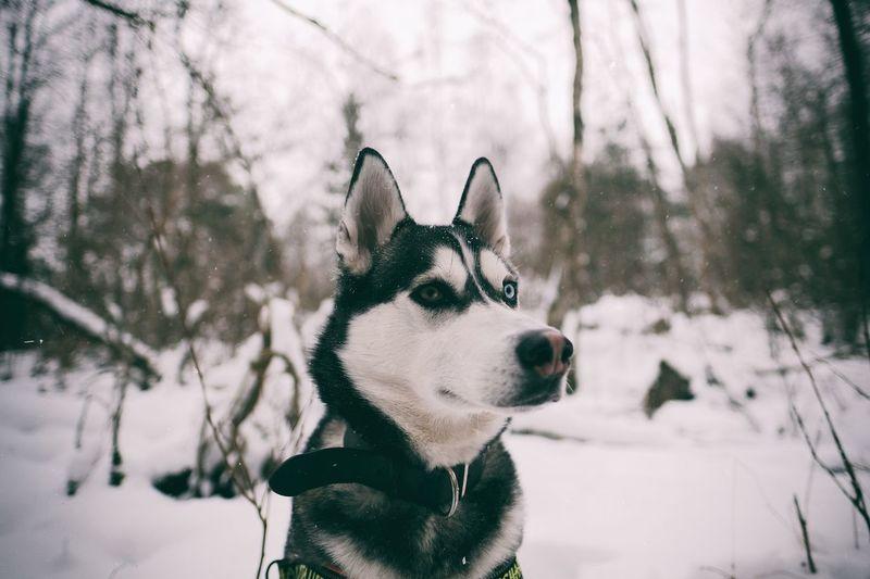Husky on snow covered landscape