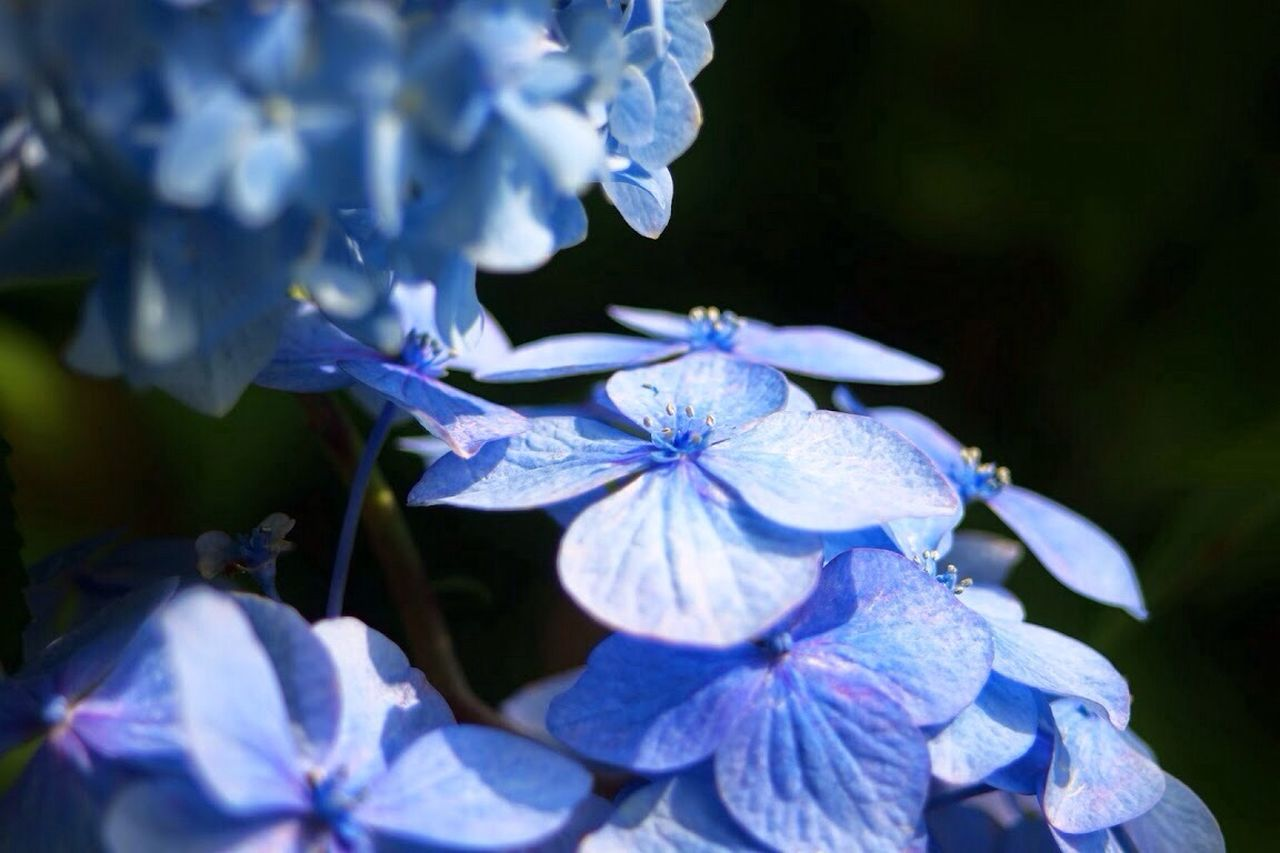 Close-Up Of Blue Hydrangeas Growing In Park