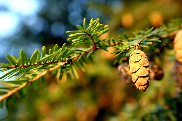 Plant Focus On Foreground Close-up Growth Plant Part Leaf Beauty In Nature Tree Green Color Nature No People Day Selective Focus Freshness Outdoors Sunlight Branch Coniferous Tree Fir Tree Silence Warmth Tranquility Pine Tree Pine Cone Advent EyeEmNewHere