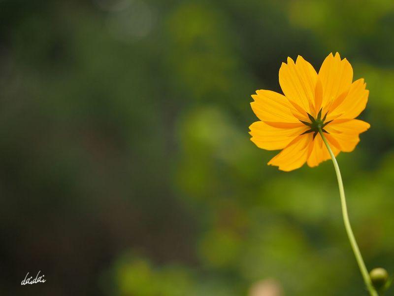 好きです 好きです 心から ・・・ この構図! E-PL3 Flower Cosmos キバナコスモス Noedit 逆光部