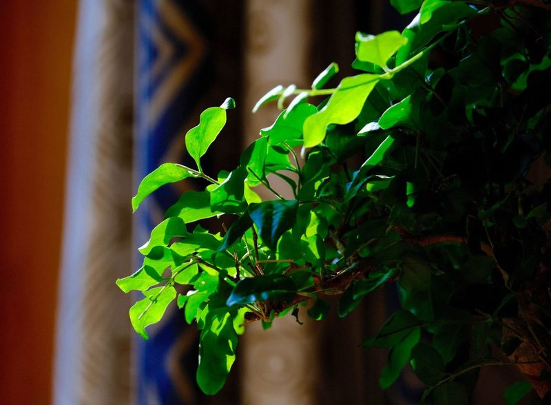 Bonsai Tree Leaf Growth Plant Part Green Color Plant Close-up Beauty In Nature Focus On Foreground Sunlight Selective Focus Green