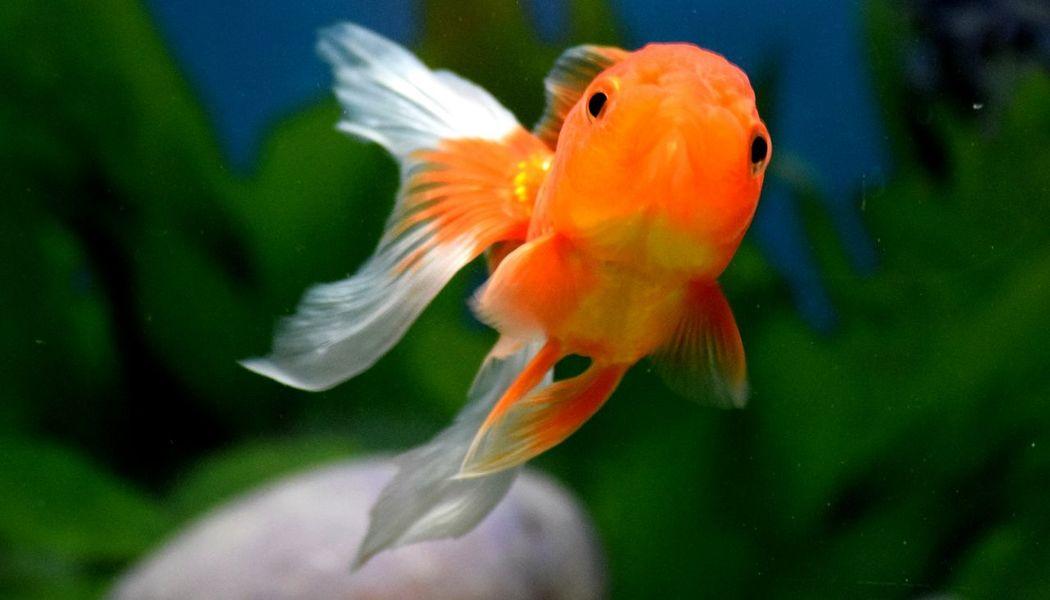 Goldfish Orange Color Close-up Swimming Underwater Beauty In Nature Goldfish Aquarium Animal Themes EyeEm EyeEm Best Shots Hellow World Goldfish In Water Fantail Orandagoldfish Goldfish Tank Aquarium Fish Aquariumlife HelloEyeEm Eyeemphotography EyeEm4photogtaphy EyeEm Gallery Eyeem Market Eyeem4photography EyeEm Nature Lover Hellow EyeEm