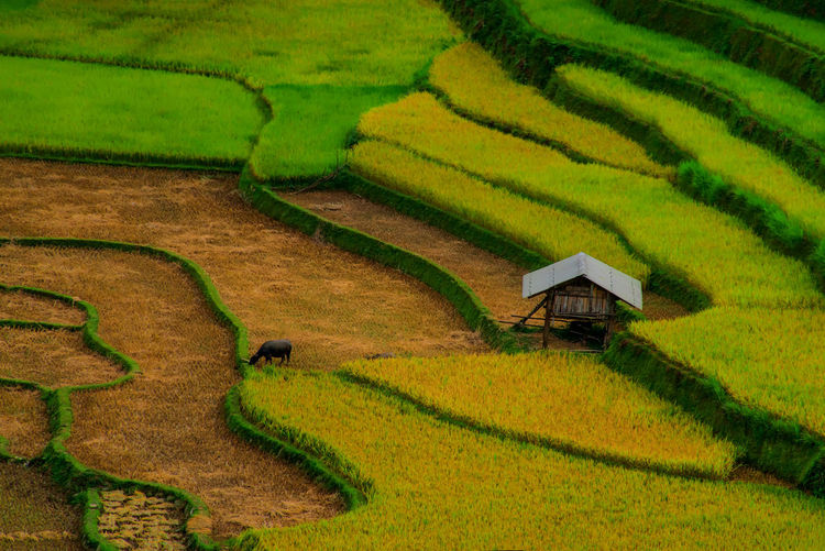Rice fields on terraclaed of Mu Cang Chai, YenBai, Vietnam. Landscape Agriculture Growth Rice Terraced Field Rice Paddy Field Plant Land Nature Beauty In Nature Outdoors Mountain Plantation Gardening Terrace Scenics - Nature Farm Rural Scene Environment Rice - Cereal Plant Crop  No People