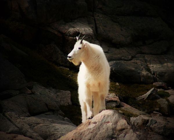 Finally saw a mountain goat family while hiking in Vail, lived here 4 years and that was first tme this summer. Artistic Photo Day Mountain Goats Sunlight Nature Tranquil Scene Close-up Beauty In Nature