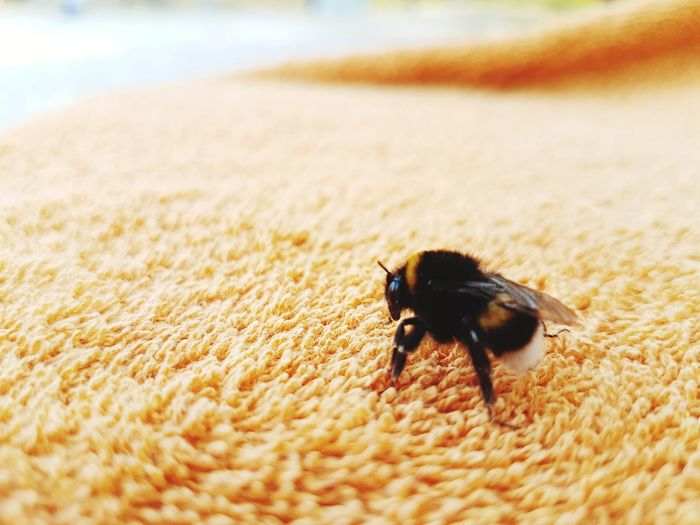 Bumblebee Towel On Sand EyeEm Selects Beach Insect Animal Themes Close-up Bumblebee Honey Bee