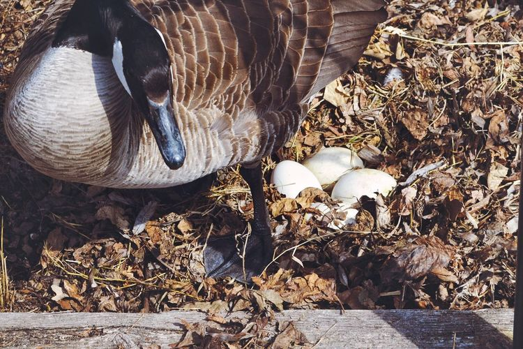 Goose Canada Goose Mother Goose Eggs Goose Eggs Wildlife & Nature Focus On Foreground Single Animal Bird Sitting On Eggs Bird Sitting On Eggs