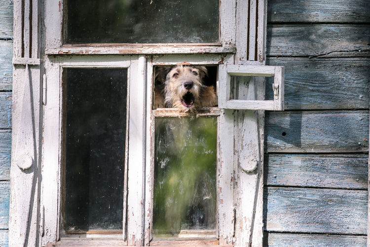 Barkling fluffy dog in retro window in summer Suzdal Dog Fluffy Suzdal Wooden Dirty Countryside Village Summer Guarding Eye Pets Dog Looking Through Window Portrait Window Trapped Looking At Camera Close-up Animal Eye HEAD Mug Shot