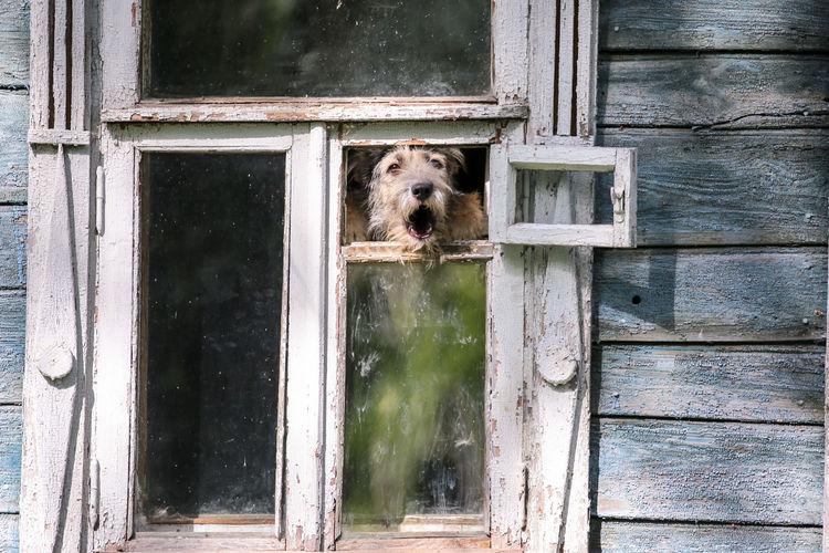 Barkling fluffy dog in retro window in summer suzdal