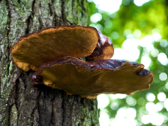 Close-up of mushroom on tree trunk