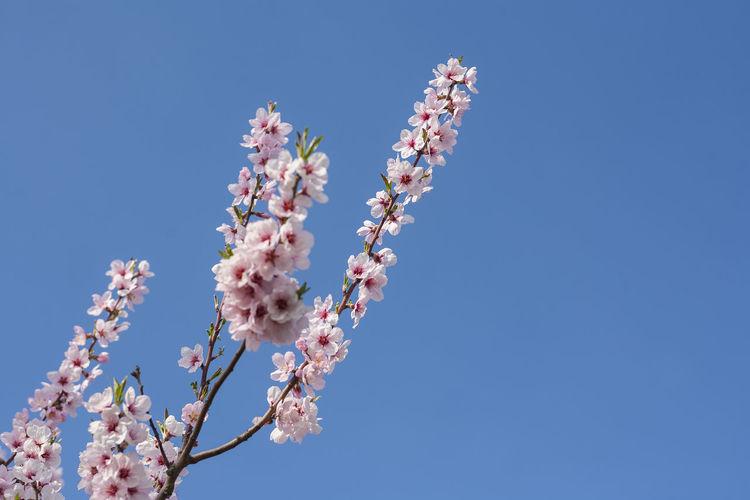 Low Angle View Of Cherry Blossom Tree Against Clear Blue Sky