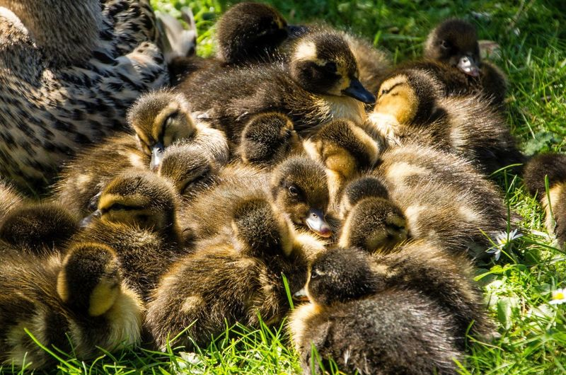 Ducklings With Mallard Duck Relaxing On Field