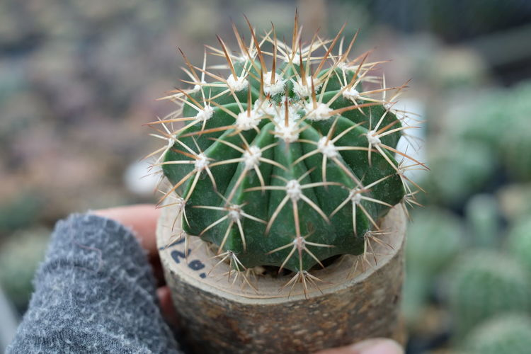 Cropped Hand Holding Cactus