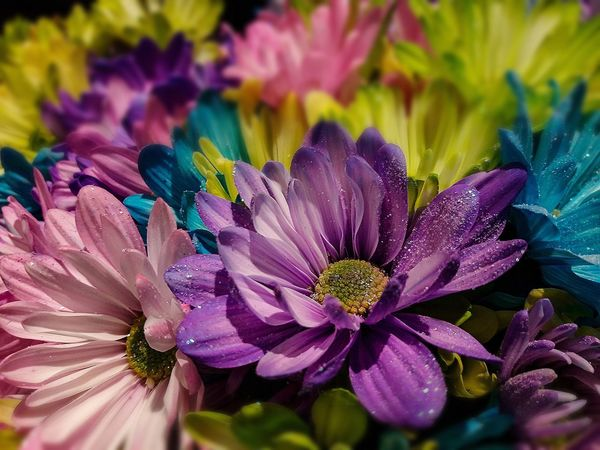 Muli colored Dasies. Flower Beauty In Nature Fragility Petal Flower Head Close-up Plant Nature Multi Colored Growth Freshness No People Daisies Closeup Daisies Muliple Colored Daisies Fairy Dust Brightly Colored Daisies EyeEmNewHere Spring Spring Flowers Easter Spring Colors Day