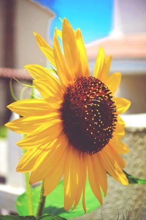 Sunflower Home Sweet Home Flora Fauna Relaxing