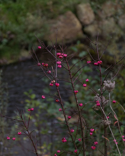Autumn in Town Autumn Colors Brook Beauty In Nature Close-up Day Flower Focus On Foreground Fragility Freshness Growth Nature No People Outdoors Pink Color Pink Fruits Plant Stones & Water