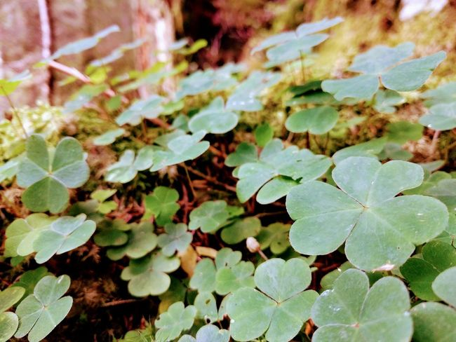 Clover 🍀 Clover Cloverleaf Outdoors Forest Fragility Nexus 5x Phonography  Close-up No People Switzerland Nature Day