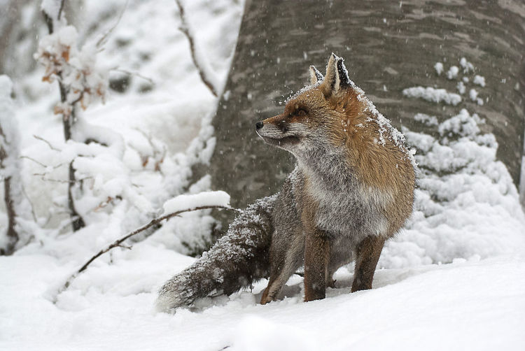 Close-up of fox on snow field during winter