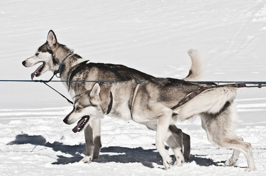 Animal Themes Cold Temperature Day Dog Domestic Animals Mammal Mushers Nature No People Outdoors Pets Pirineos Siberian Husky Sled Dog Snow Sports Photography Valle De Aran Winter
