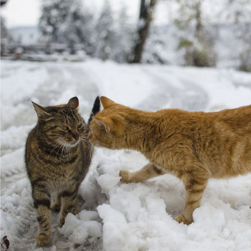 Ginger Cat Animal Themes Annoyed Annoyedface Cat Catfight Close-up Cold Temperature Day Domestic Animals Domestic Cat Feline Mammal Nature No People One Animal Outdoors Pets Snow Weather Winter