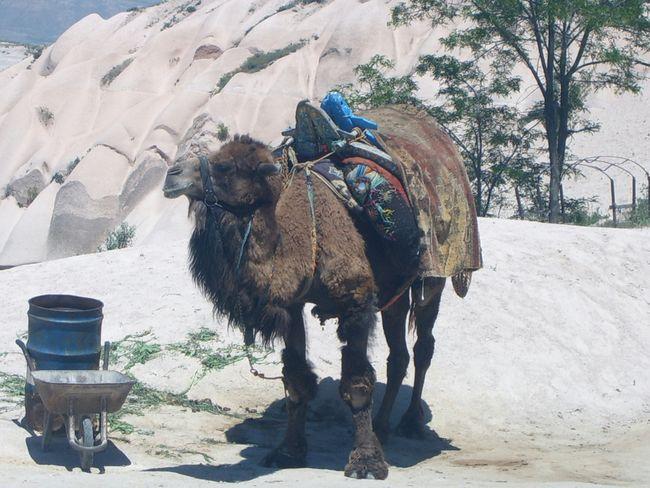Camel Turkeystagram Capadoccia