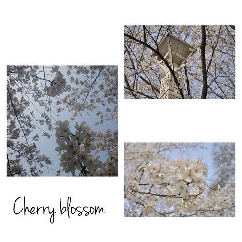 今天,学校的樱花树开了,很漂亮。左图是我用手机拍的,右图是用单反相机拍得(别人的作品),在觉得自己技术不好的同时,也觉得器材也是十分重要的,唉 一个字 拙 Cherry Blossoms Wuhan