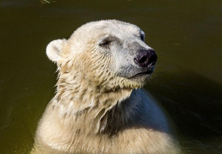 Icebear Animal