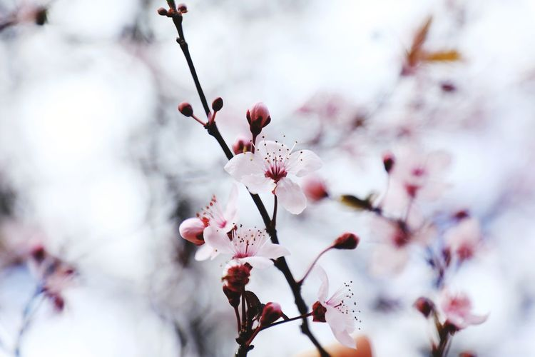 Canonphotography Canon Canon 5d Mark Iv #summer Oceanographic Valencia Oceanographic Positive Popular Photos EyeEm Selects Plum Blossom Snow Fruit Tree Orchard First Eyeem Photo