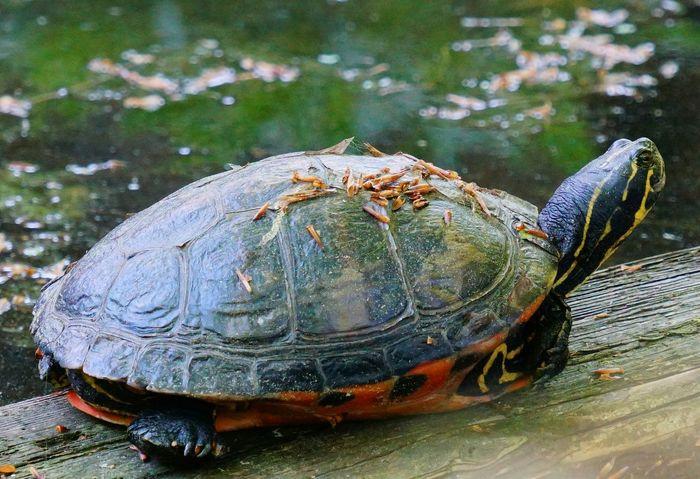Loaded Turtle Turtle 🐢 Wildlife In The Sunshine Wild Beauty In Nature Nature Photography Nature_collection Spring Is Coming  Wildlife & Nature Wildlife_perfection Eyem Nature Lovers  Tortoise Close-up Animal Themes Shell