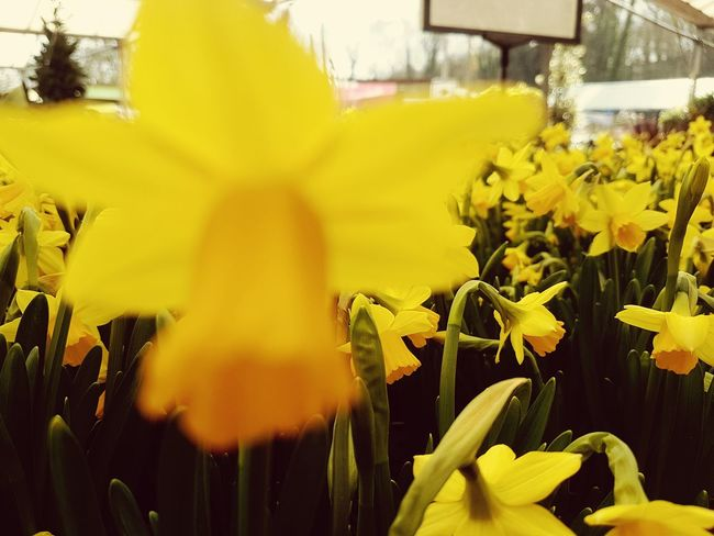 Diwrnod Dewi Sant Flower Yellow Nature Fragility Growth Beauty In Nature Plant Flower Head Petal Freshness Blooming Close-up No People Leaf Outdoors Day St Davids Day St David's Day Daffodils Narcissus Daffs Daffodils Flowers Daffodilsflowers Daffodils Collection Daffodil Bloom