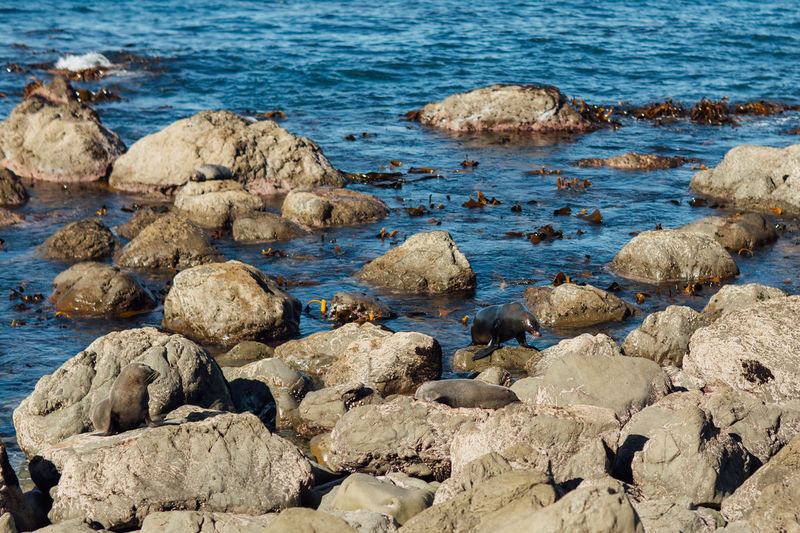 Animals In The Wild Kaikoura Sealife Spotted Animal Animal Themes Camouflage Camouflage Animals Fur Friends Mammals New Zealand No People Point Kean Rock Sea Sea Life Seal Seal - Animal Seal Point Seals Seals On Beach Seals On The Sea Shore Seaside Sleeping Stones
