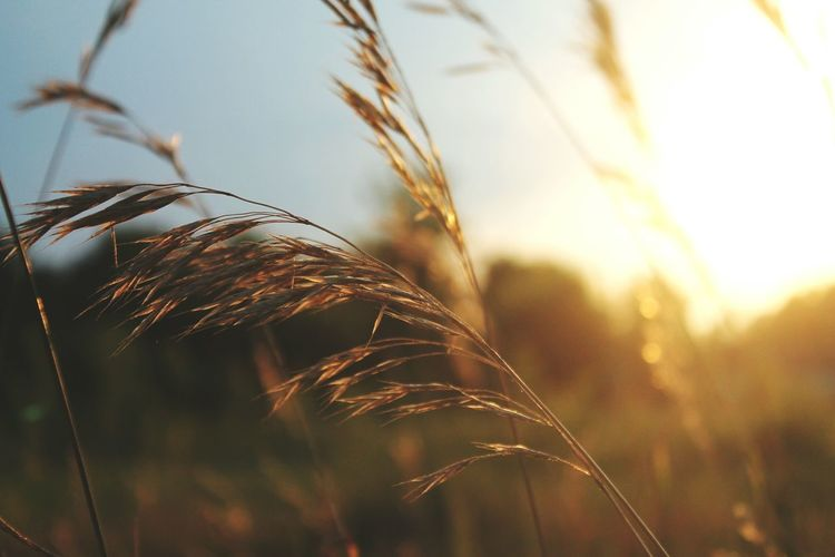 Cereal Plant Crop  Close-up Agriculture Wheat Plant Focus On Foreground Farm Selective Focus Nature Growth Sunset Straw Sunlight Outdoors No People Wholegrain Food Staple Day Field