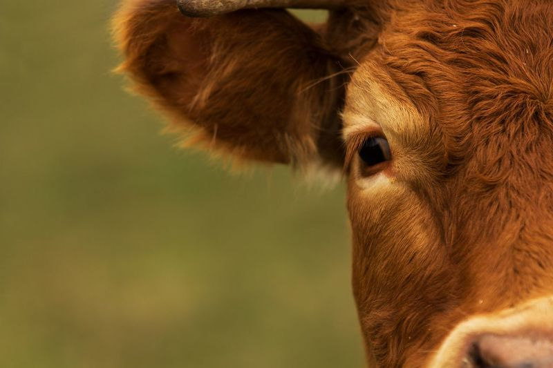 Country life Cow Highlands Farm Farming Agriculture Animal One Animal Animal Themes Mammal Domestic Animals Domestic Animal Body Part Animal Head  Close-up Brown Focus On Foreground Animal Eye EyeEmNewHere