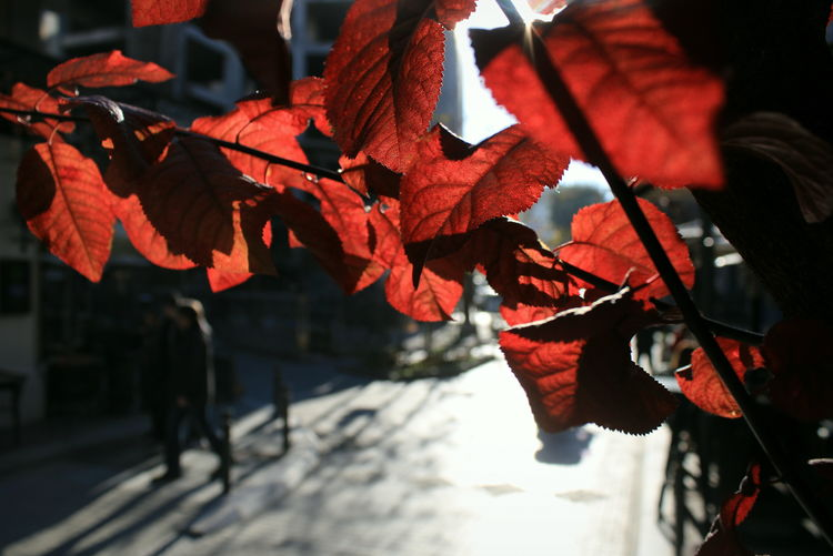 Close-up of red maple leaves on footpath