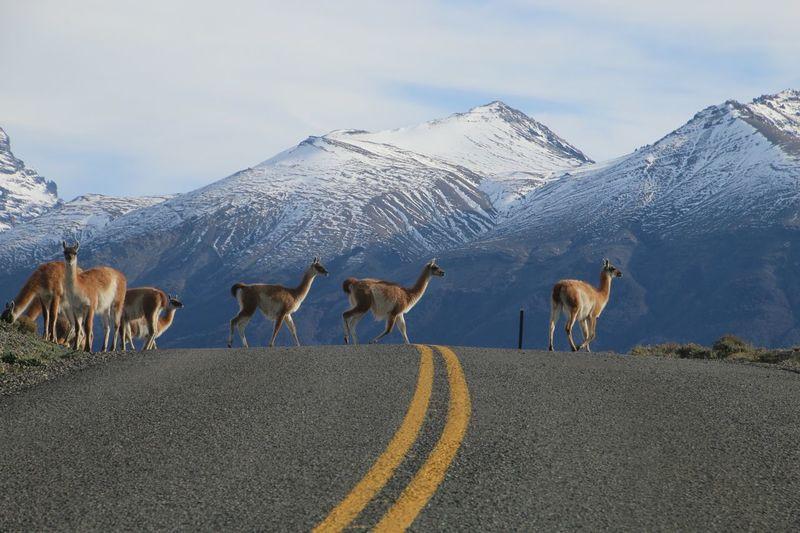 Alpacas crossing road