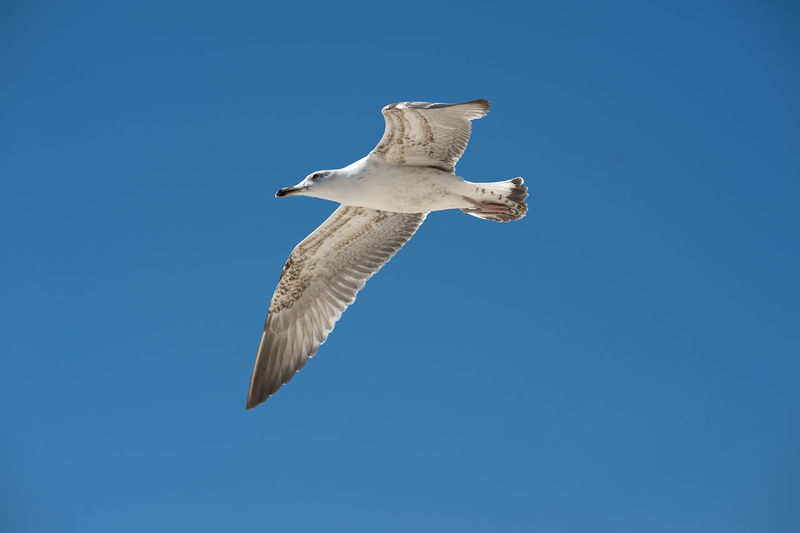 Animal Themes Animal Wing Animals In The Wild Bird Blue Clear Sky Copy Space Day Flight Flying Freedom Full Length Gull Low Angle View Mid-air No People One Animal Seagull Sky Spread Wings Wildlife