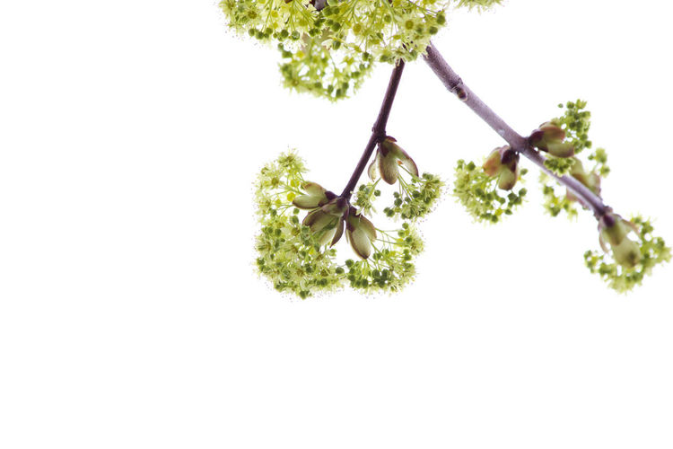 Plant Flowering Plant Growth Flower No People Freshness Beauty In Nature White Background Copy Space White Color Branch Botany Flower Head Green Color Fragility Close-up Tree Minimalism Spring