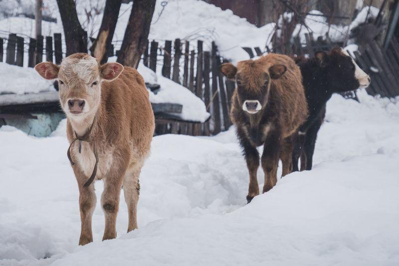 ASIA Caucasus Georgia Animal Cow Culture Europe History Snow Street